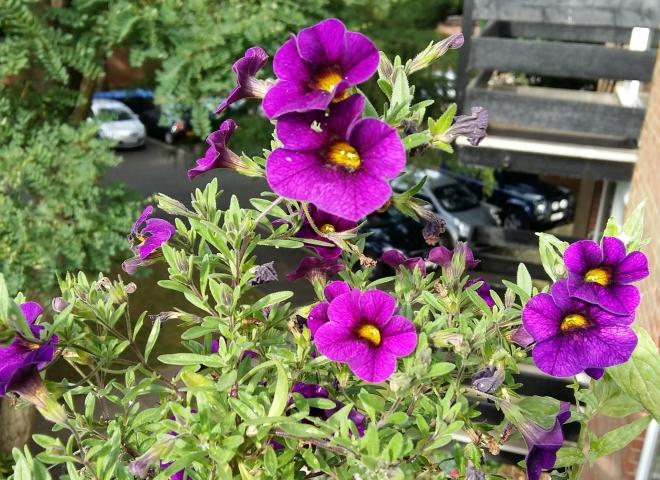 Purple balcony flowers