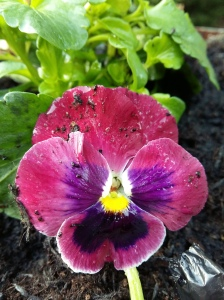 Purple pansy balcony pot