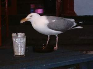 Seagull drinking a cocktail