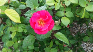 Rose at Parc de la Tête d'Or (2)