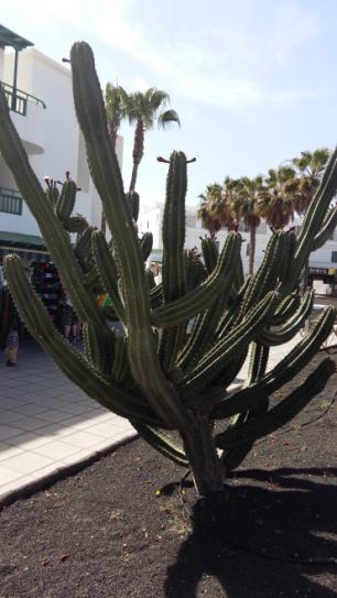 Massiva cactus Costa Teguise