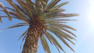 fuerteventura-palm-tree