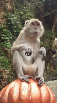 Batu Caves Macaque monkey close up