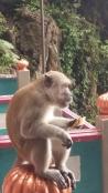 Batu Caves Macaque monkey eating