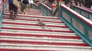 Batu Caves Macaque monkey on steps