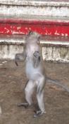 Batu Caves Macaque monkey standing