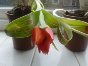 Curved tulips 2