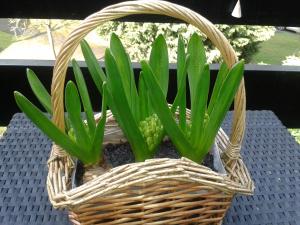 Hyacinths in basket